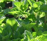 Grapefruit Mint Plant