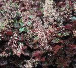 Coral Bells Palace Purple Perennial Plants