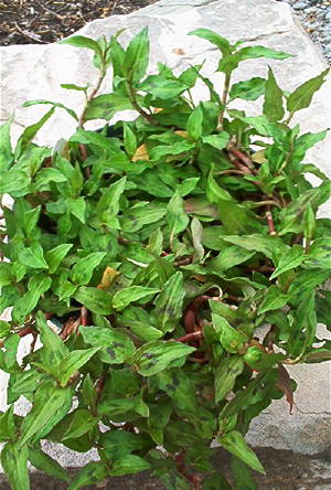 Vietnamese Corriander Culinary Herb Plants