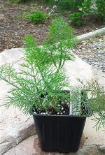 Show product details for Dill Herb Plants