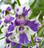 angelonia hilo princess perennial flower