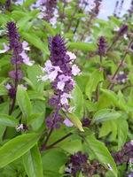 cinnamon basil herb plant