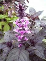 Opal Purple Basil Herb Plants
