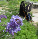 Butterfly Bush Buddleia Nanho Blue