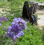 Butterfly Bush Buddleia Nanho Blue