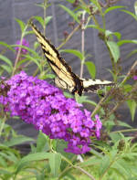 Buddleia Butterfly Bush Royal Red