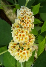butterfly bush perennial flower