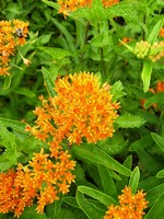 butterfly weed butterfly plants Asclepias tuberosa