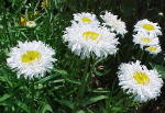 Crazy Daisy Perennial Flowers Small
