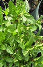 Iced Hazelnut Mint Plant