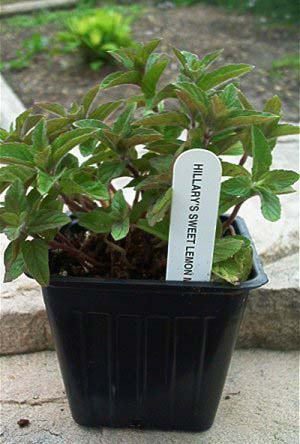 Hillary's Sweet Lemon Mint Plant