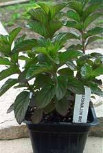 Marshmallow Mint Plant