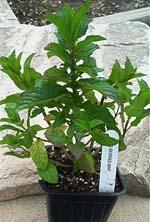 Wild Berries Mint Plant