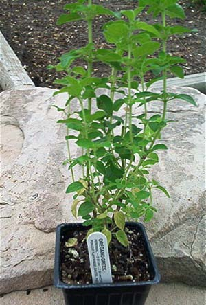 Greek Oregano Herb Plants