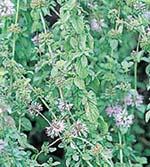 Pennyroyal Mint Plant
