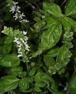Sweet Basil Culinary Herb Plants