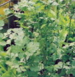 Cilantro Culinary Herb Plants