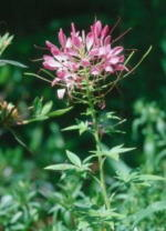 Cleome Annual Flower