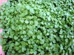 Corsican Mint Plant