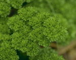 Curled Parsley Culinary Plants