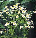 Show product details for Feverfew Medicinal Plants