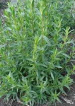 Show product details for Tarragon Herb Plants