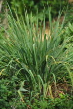 Lemon Grass Culinary Plants