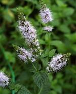 Peppermint Mint Plant