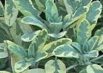 Golden Sage Salvia Herb Plants