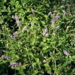 Spearmint Mint Plant