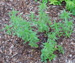 Summer Savory Culinary Herb Plants