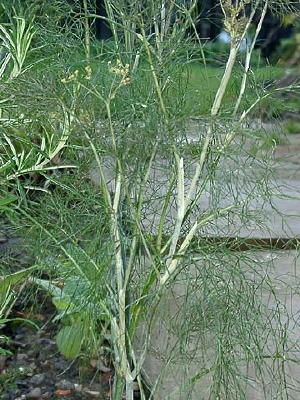 Fennel Culinary Plants