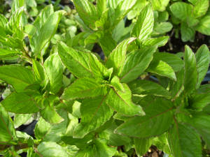 Fruit Sensations Mint Plant
