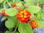 Red Lantana Annual Flower