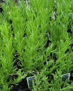 Lavender Lady Herb Plants