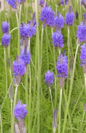 Lavender Pinnata Herb Plants