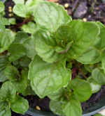 Julia's Sweet Citrus Mint Herb Plants