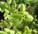 Sister Julie's Wintergreen Mint Plants