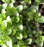 Orange Mint Plant
