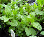 Spearmint Mint Plants