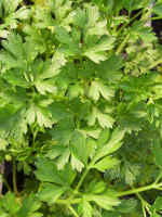 Italian Parsley Culinary Plants