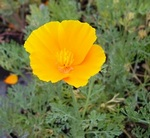 California Poppy Perennial Plants