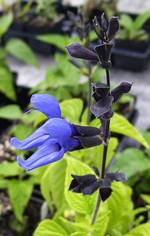 Black and Blue Sage Herb Plants