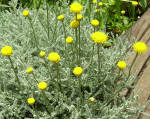 Santolina Gray Herb Plants