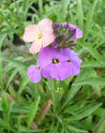 Wallflower Bowles Mauve